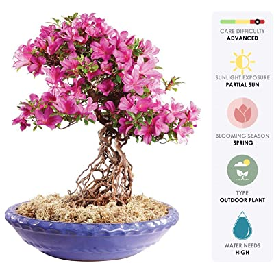 """Brussel's Live Azalea Specimen Outdoor Bonsai Tree - 35 Years Old; 16"""" Tall with Decorative Container: Garden & Outdoor"""