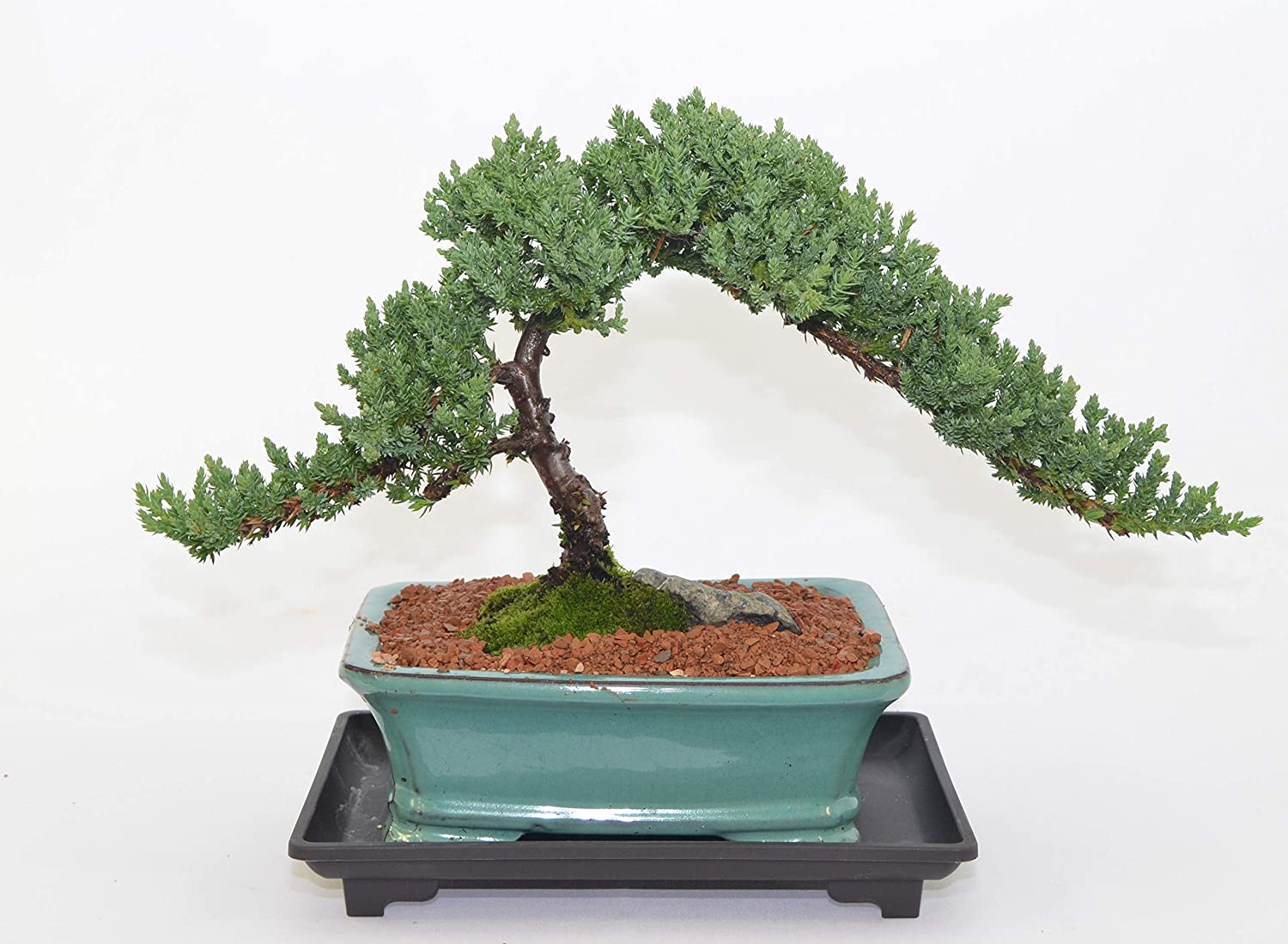 Amazon Com Japanese Juniper Traditional Bonsai Windswept Style 12 Years Old Garden Outdoor