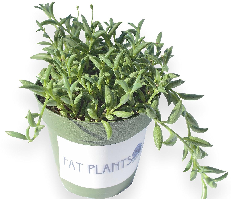 String of banana plant care - Amazon Com String Of Bananas Plant Succulent Plants Patio Lawn Garden