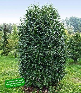 BALDUR-Garten Immergrün Säulen-Kirschlorbeer\