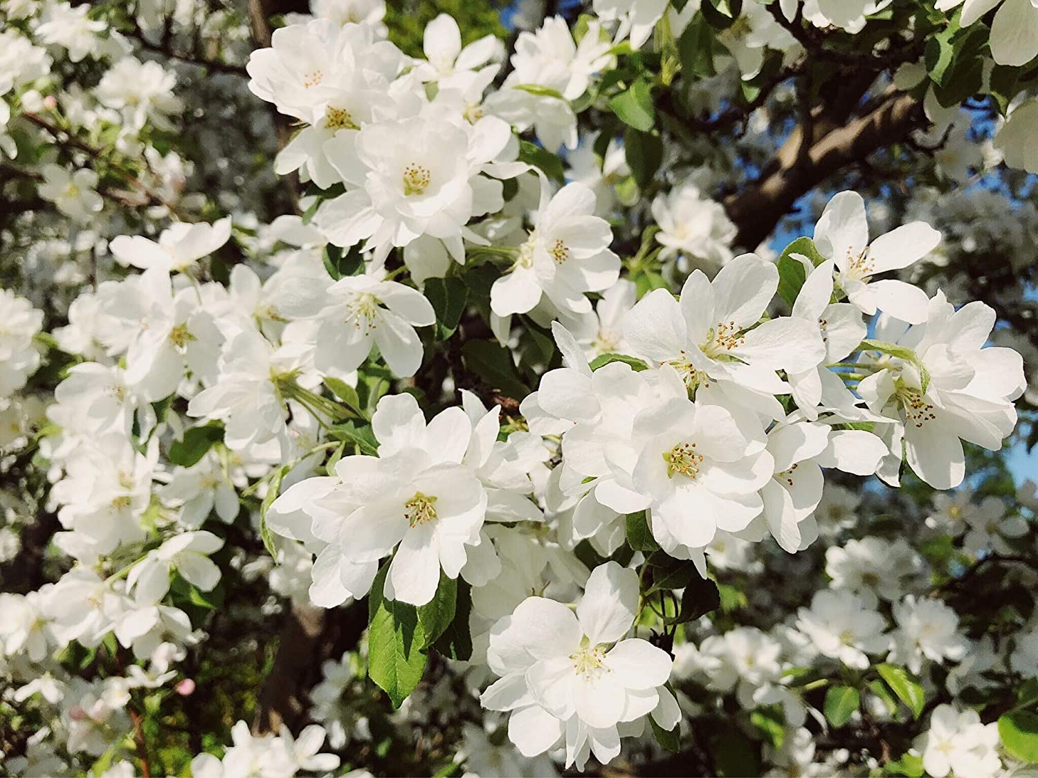 Amazon Com Spring Snow Flowering Apple Tree Fruitless