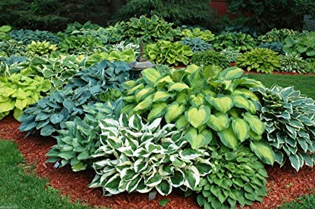Amazon Com 10 Seeds Hosta Seeds American Crosses Mix Wide
