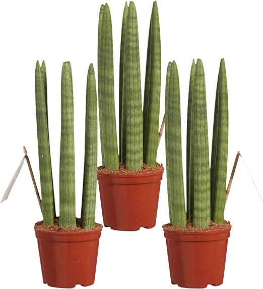 Sansevieria trifasciata Height 60 cm Fresh from The Grower Green is Live Indoor Plant in Ceramic Pot White Diameter 17 cm Quality from Holland