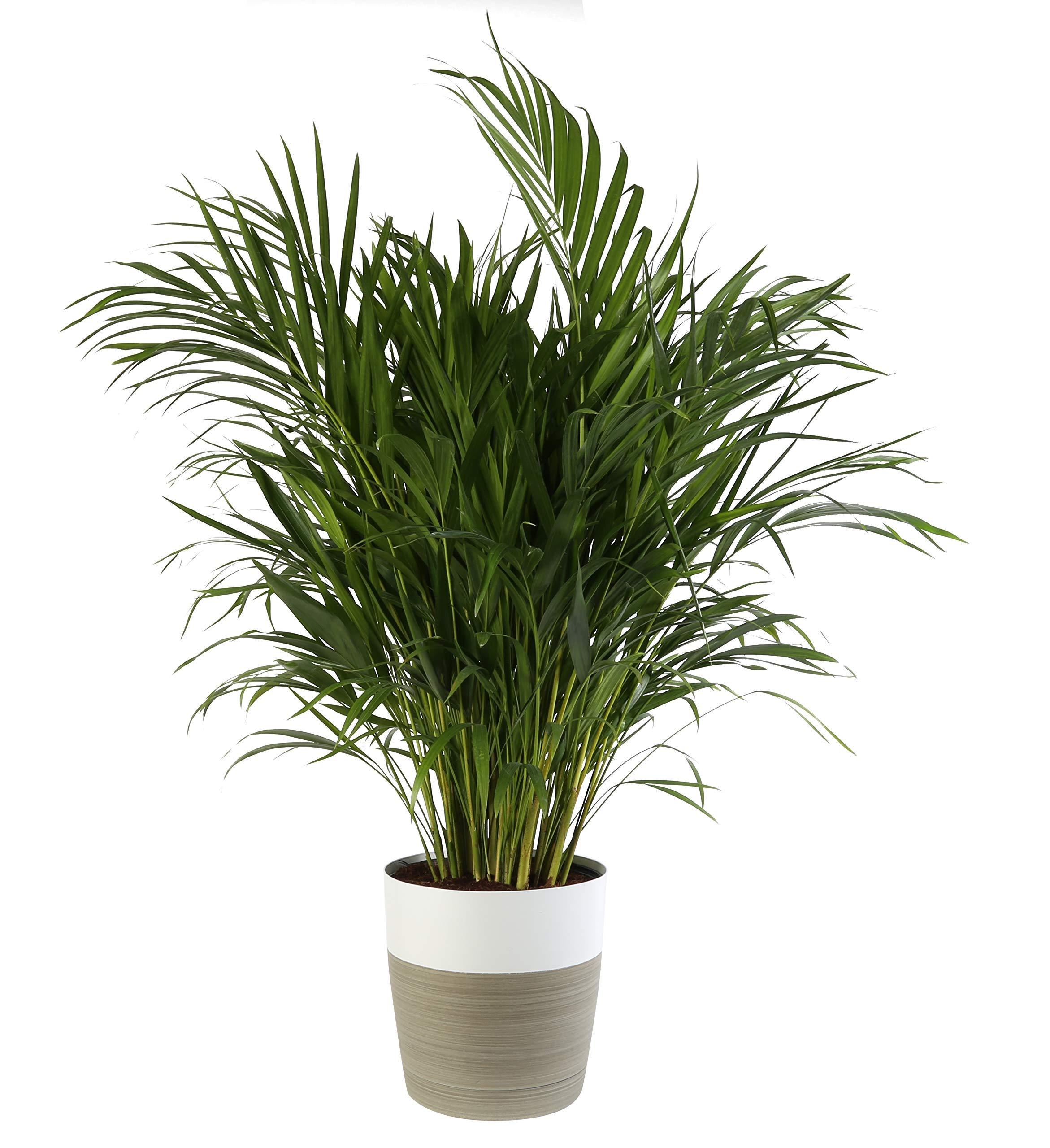 Costa Farms Live Areca Palm in Decor Planter, 3-Foot, White-Natural by Costa Farms