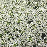 Burpee Carpet of Snow Alyssum Seeds 2500 seeds