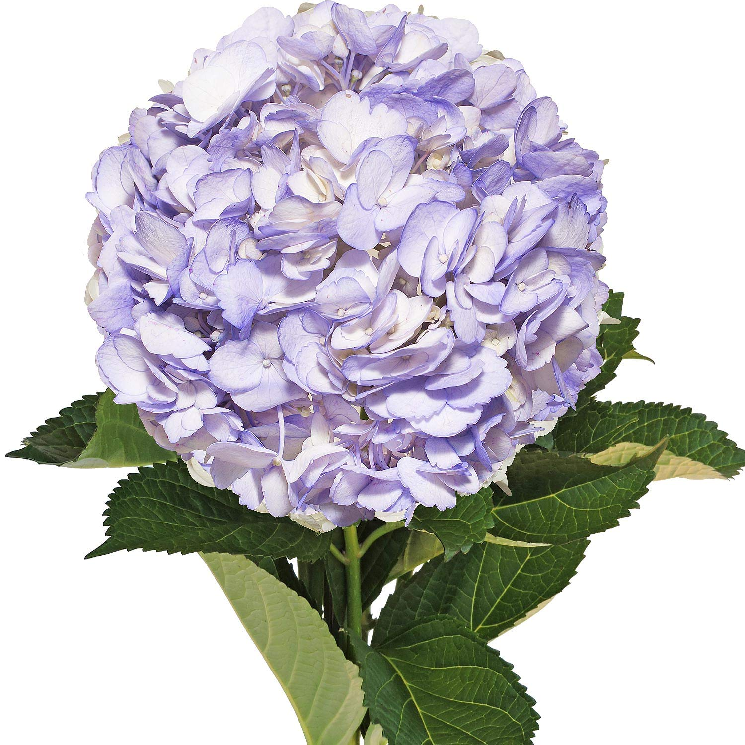 Farm Fresh Natural Painted Lavender Hydrangeas - Pack 15 by Bloomingmore (Image #1)