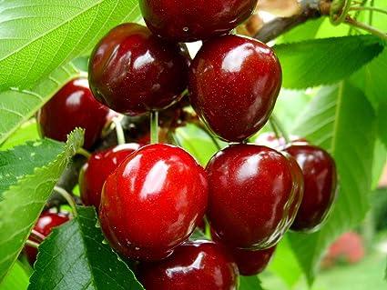 cây giống cherry brazil - chuẩn giống - hvnn vn- Thơm, ngon, ngọt, mát - 2