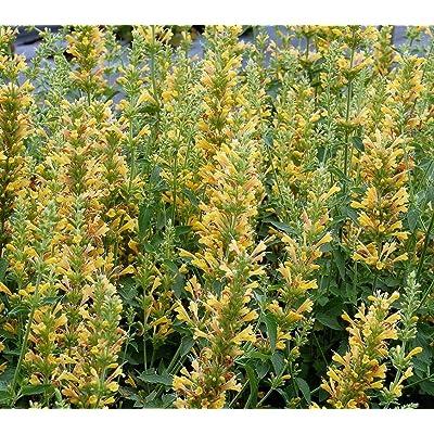 Yellow Kudos Hummingbird Mint - Agastache - Anise Hyssop - Hardy - Quart Pot : Garden & Outdoor