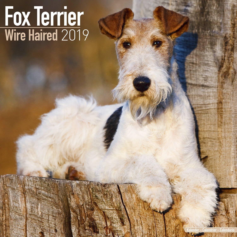 Amazon.com : Wirehaired Fox Terrier- Dog Breed Calendar - Wall ...