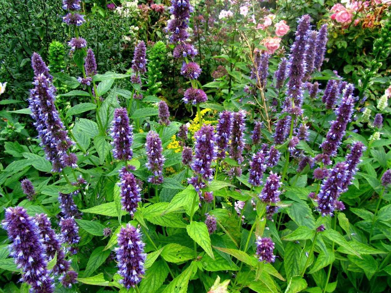 Agastache Blue Fortune (Anise Hyssop), 1 Gal