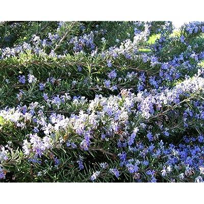 100 ROSEMARY Rosmarinus Officinalis Herb Flower Seeds : Herb Plants : Garden & Outdoor