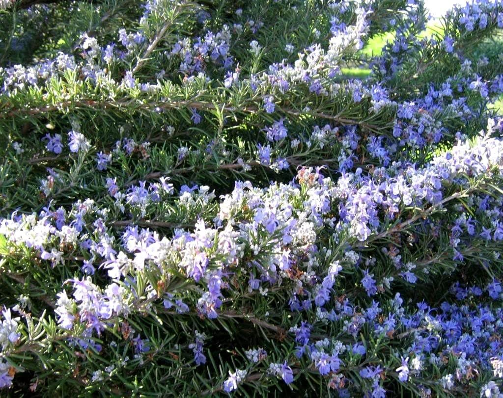 Rosemary 25+ Seeds Rosemarinus Officinalis NON-GMO Herb USA/_SAME/_DAY/_SHIP !