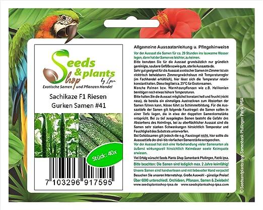 40 semillas de pepino gigante Sachikaze F1 planta de semilla ...