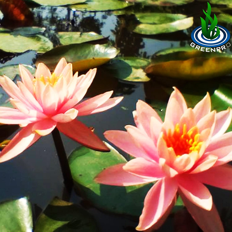 Amazon Live Aquatic Plant Orange Nymphaea Colorado Hardy Water