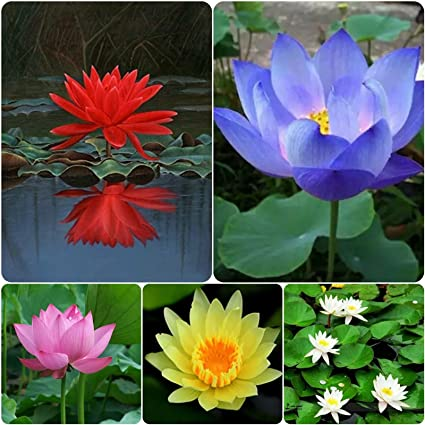 Shop 360 garden lotus flower 5 types seeds 25 amazon garden shop 360 garden lotus flower 5 types seeds 25 mightylinksfo