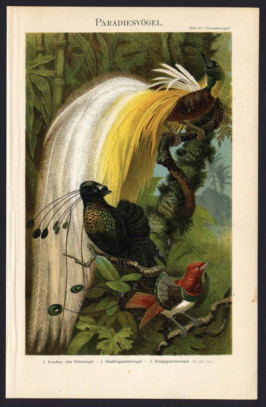 Impresión antigua de paraíso ThePrintsCollector pájaros-Meyers-1897