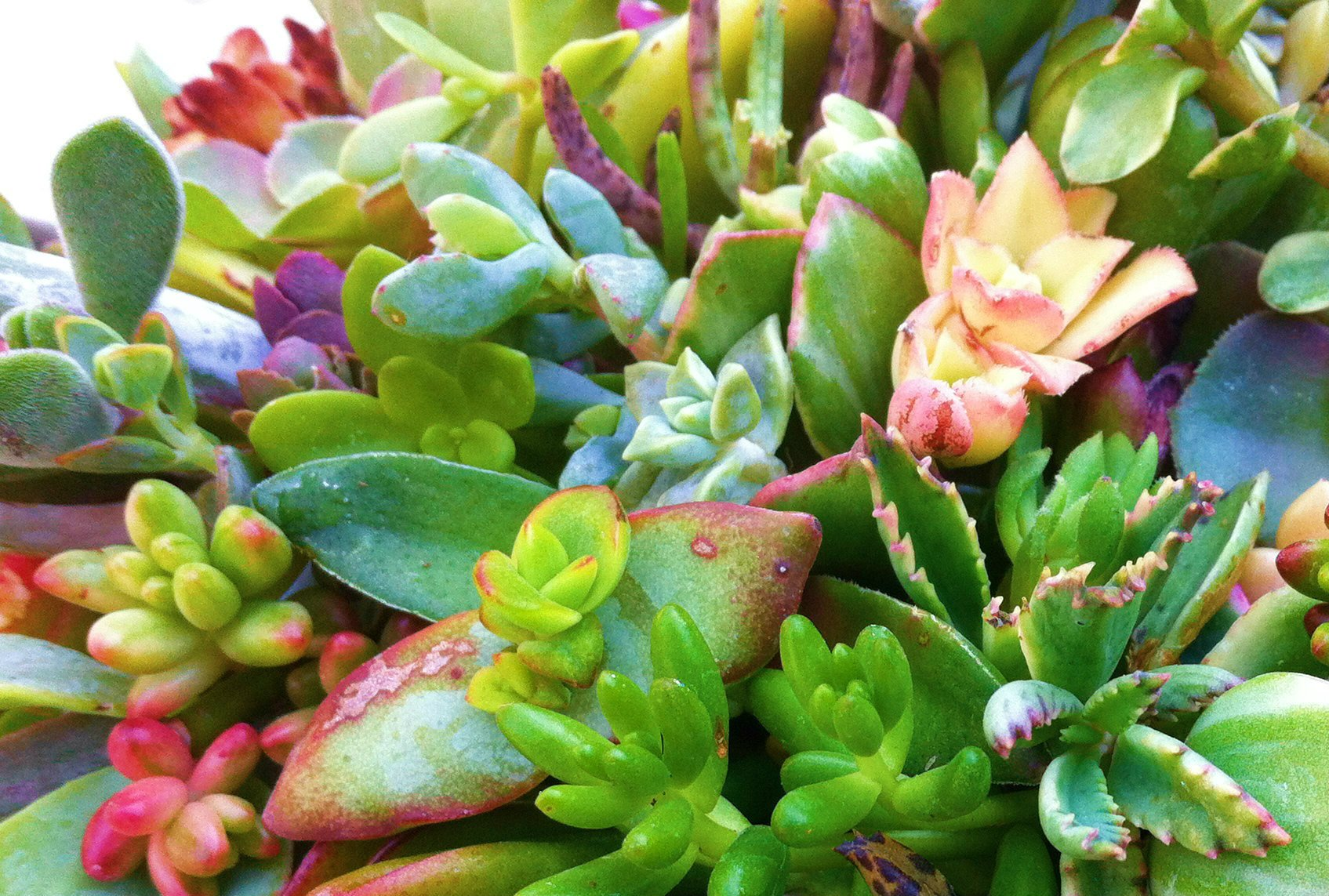 Sensual Succulents 15 Assorted Succulent Cuttings