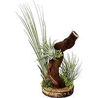 Tillandsia en árbol de raíz – 3 plantas