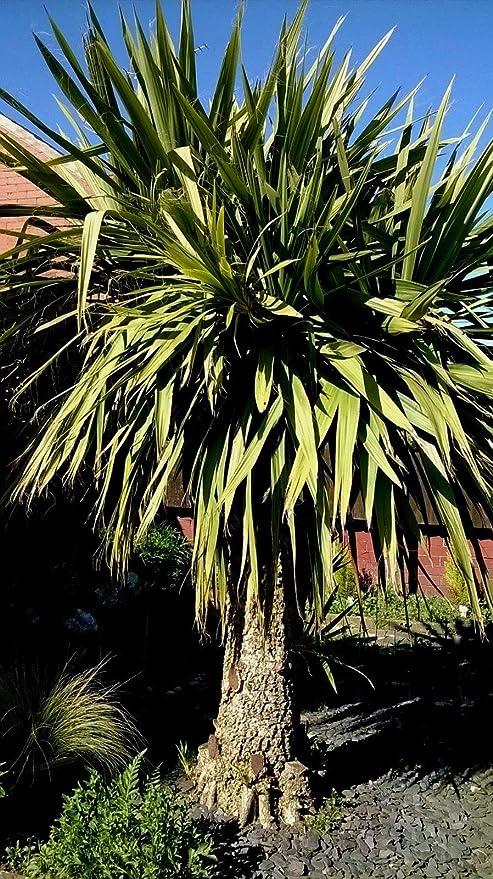ScoutSeed ÃRBOL DE PALMA DE LA PLANTA Yukka 15. SEMILLAS Jardín Exterior Tropical!¡Anónimo! Muy Hardy!: Amazon.es: Jardín