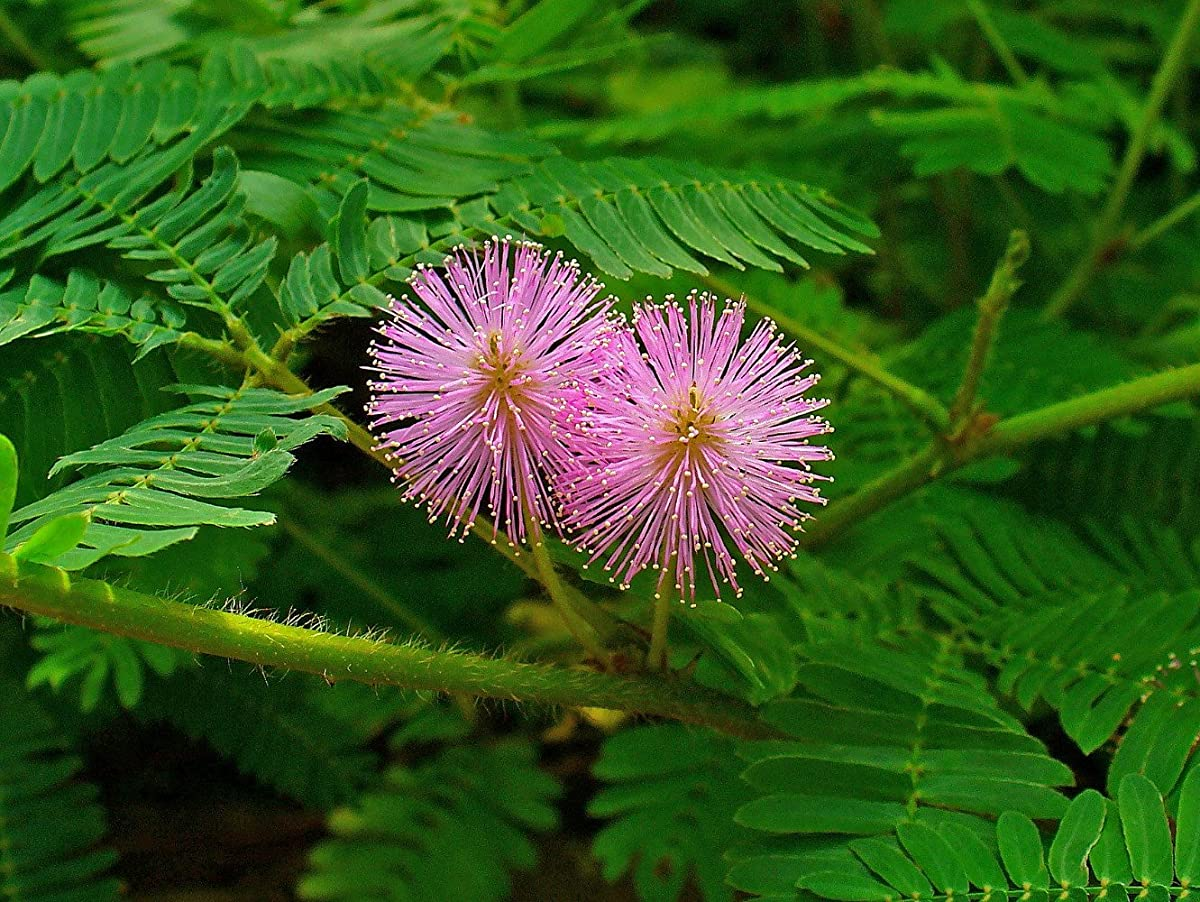 Sensitive Plant 50 Seeds -LEAVES MOVE- Tropical
