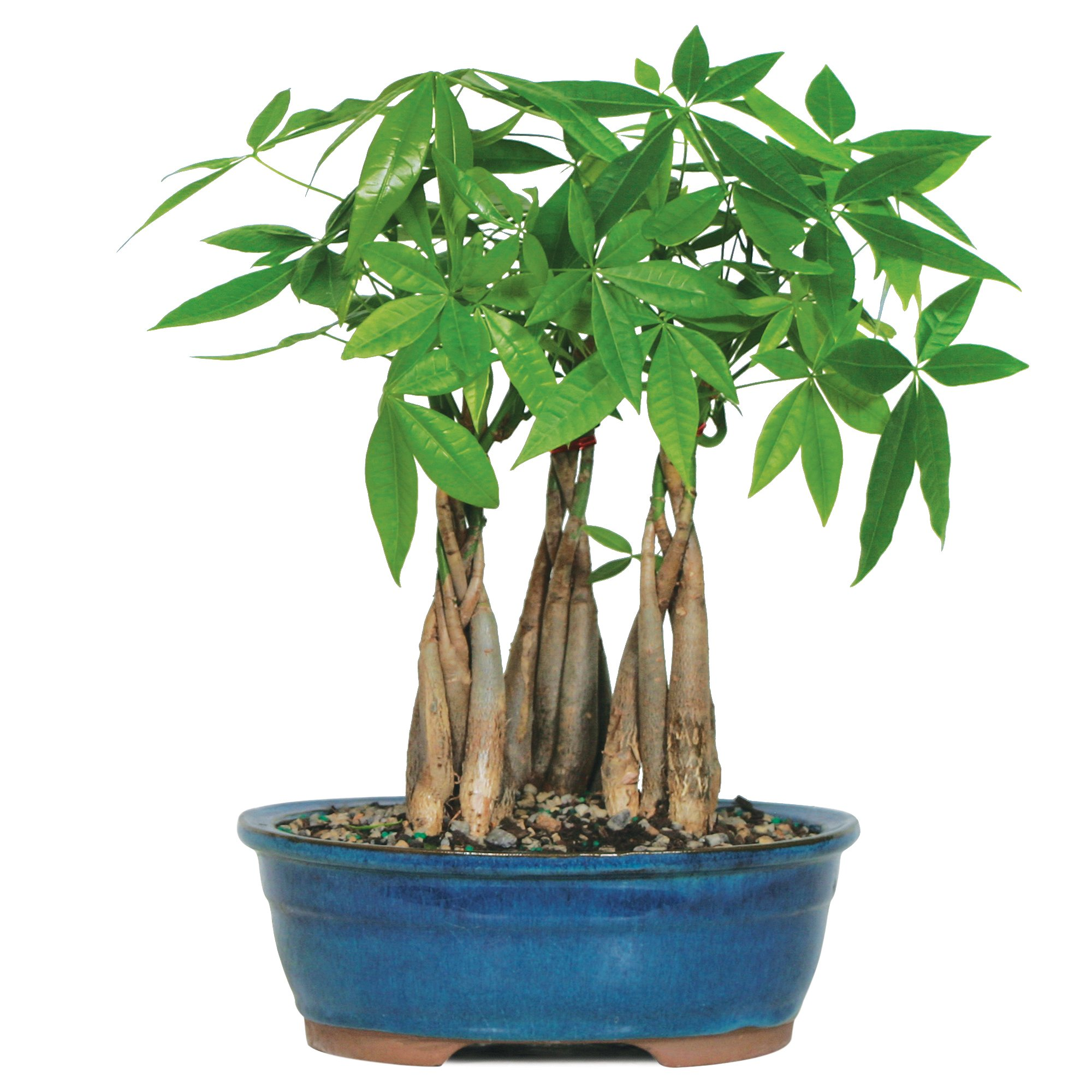 Brussel's Live Money Tree Grove Indoor Bonsai - 4 Years Old; 10'' to 14'' Tall with Decorative Container by Brussel's Bonsai