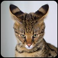 Katze Rasse Trivia quiz