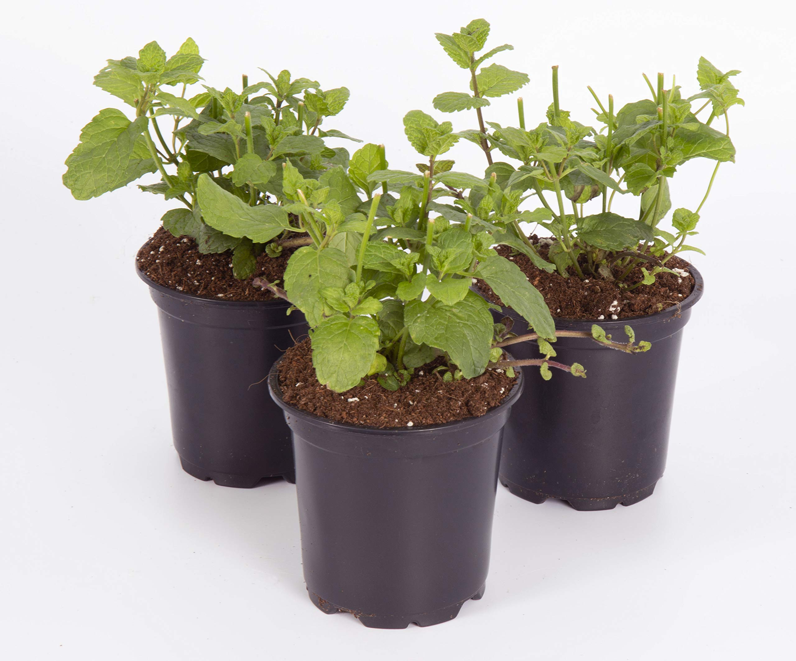 The Three Company Live Plant Aromatic Herb 4'' Mint (3 Pack), Full and Healthy, Naturally Enhances Health