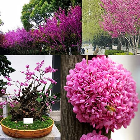 60 Bonsai Seeds Eastern Redbud Cercis Canadensis