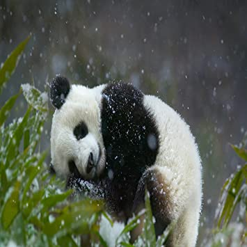 56 Wallpaper Hp Panda Hd HD Terbaru