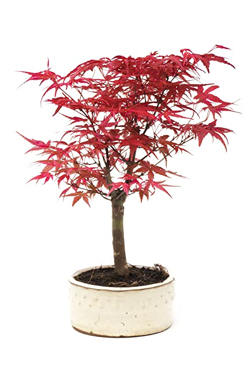 Bonsai Tree Japanese Maple 25 30cmtall Acer Palmatum Deshojo By