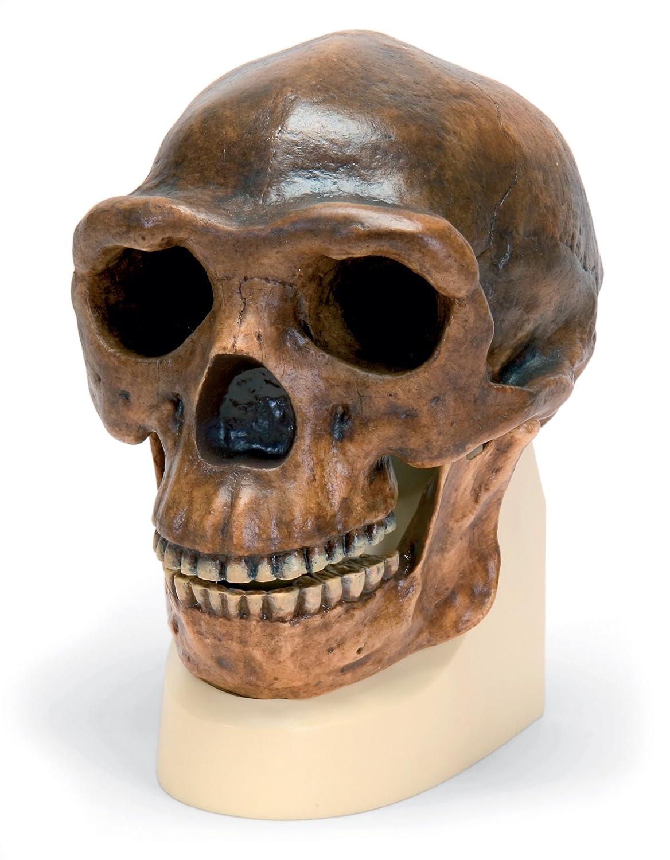 人気アイテム 北京原人 B00NXP9L22 (シナントロプス) の 頭骨 頭骨 モデル モデル B00NXP9L22, イイもの下着ヘヴンズブルー:ae6d7452 --- a0267596.xsph.ru
