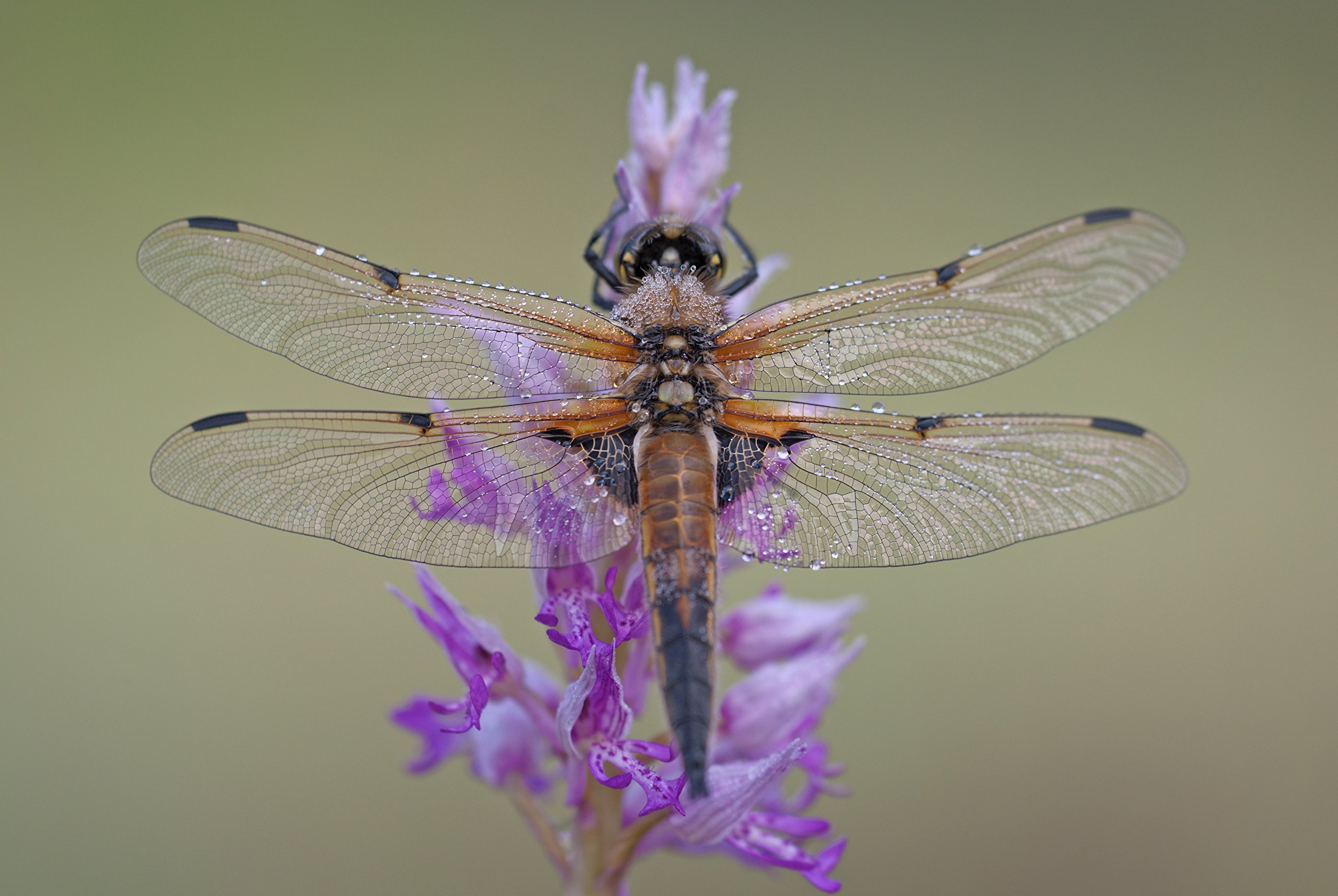 Dragonfly On Flower by