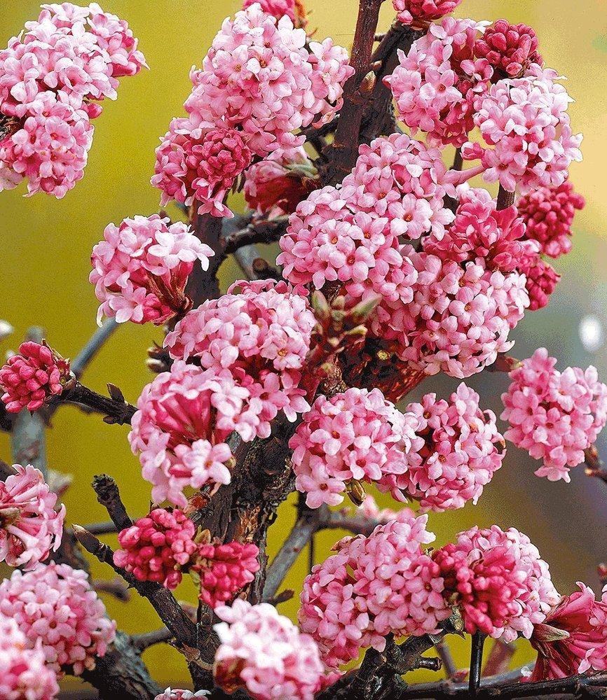 Baldur-garten Echter Winter-jasmin, 1 Pflanze, Jasminum Nudiflorum ... Pflanzen Garten Im Winter