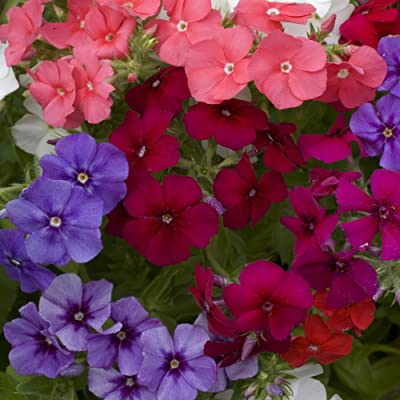 Outsidepride Phlox Mix - 1000 Seeds : Garden & Outdoor