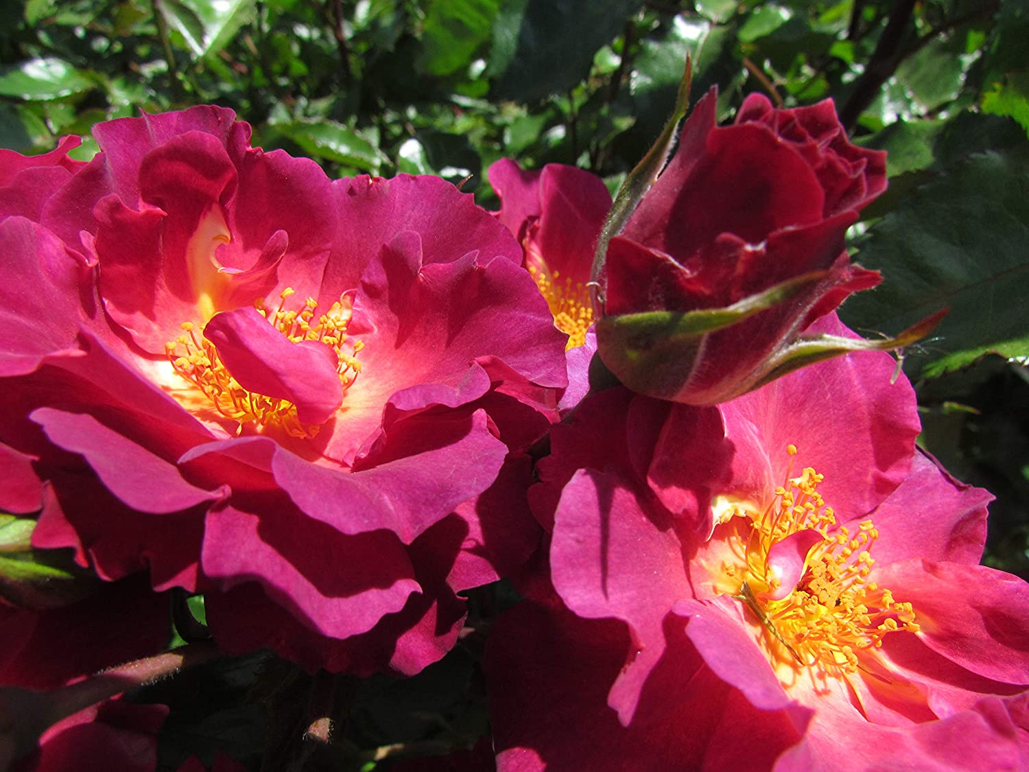 Strong Fragrance Purple//Burgundy Blooms 5.5lt Potted Shrub or Climbing Garden Rose WILD ROVER