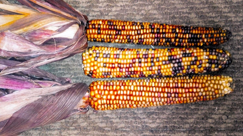 Amazon Com 20 Orange Glass Gem Corn Ornamental Edible Zea Mays