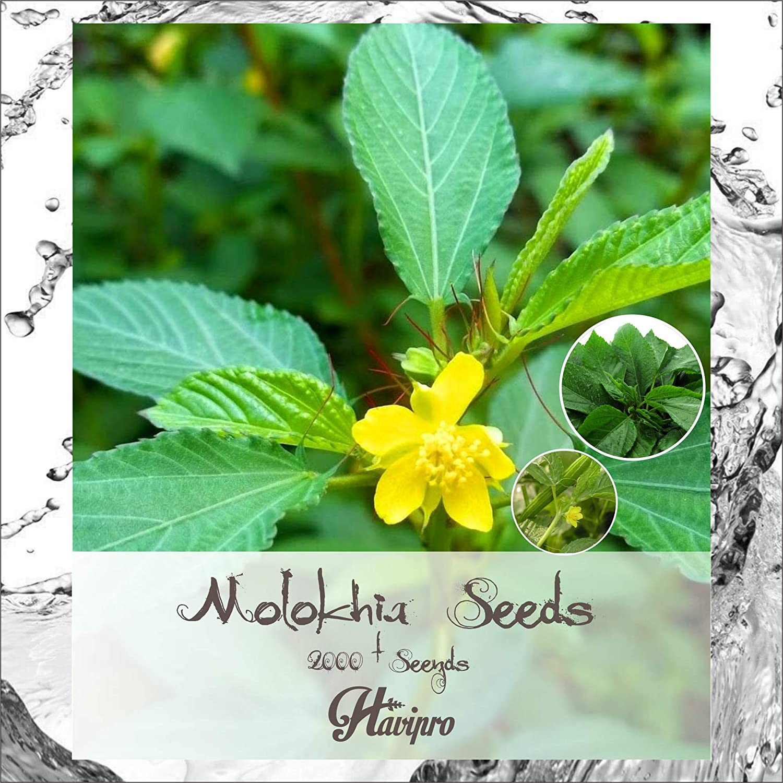 Salad Mallow Seeds Molokeyhia Seeds Corchorus olitorius Leafy Greens Egyptian Spinach Seeds Spinach Seeds Greens Seeds Permaculture