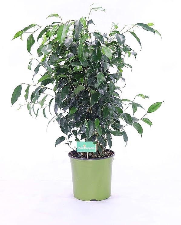 Piante Da Appartamento Amazon.Pianta Di Ficus Benjamin V17 Pianta Da Interno Amazon It