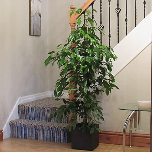 Tall Indoor Plant Amazon Co Uk