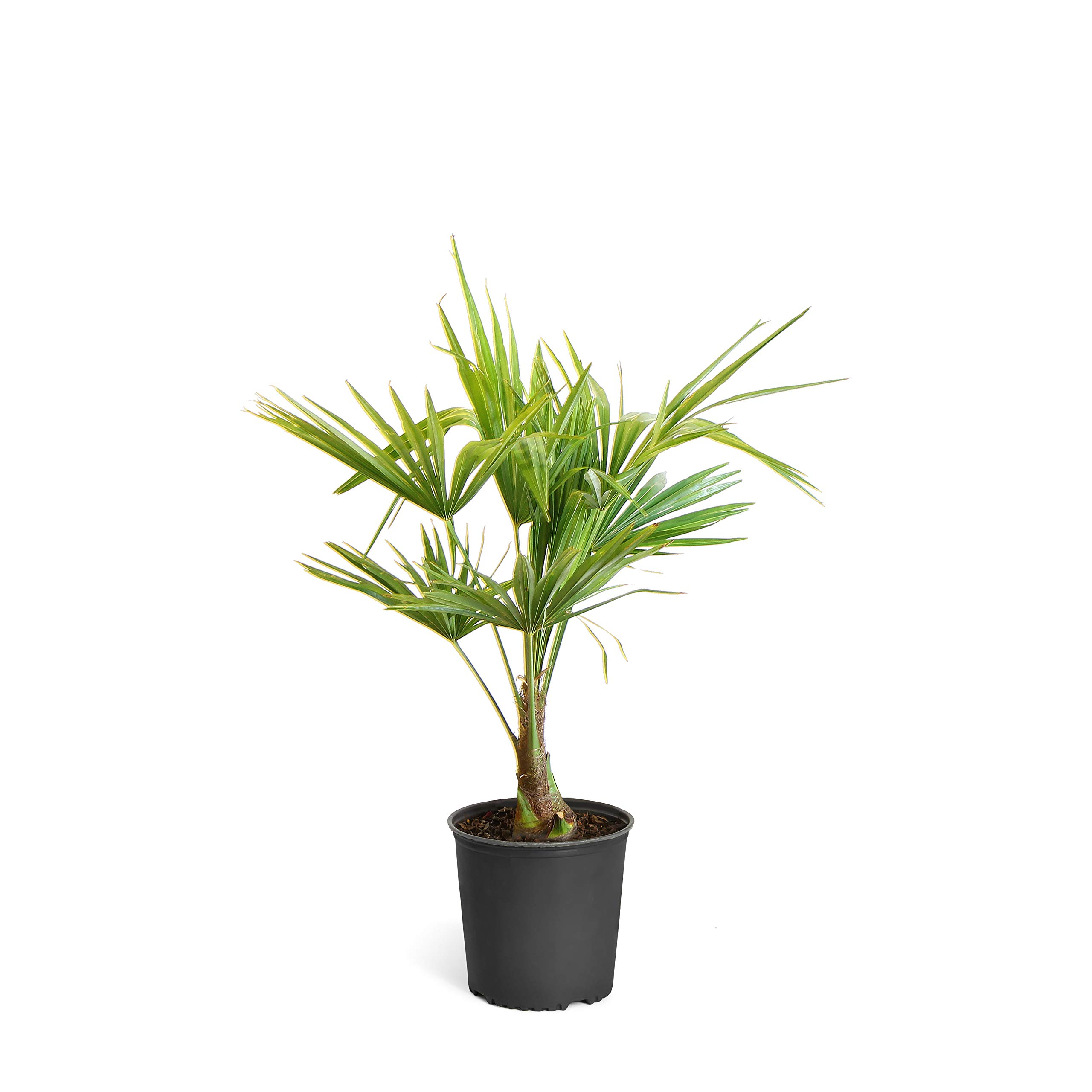 Pindo Palm - 3 Gallon