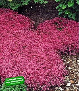 Immer Blühender Garten dominik blumen und pflanzen staude roter sonnenhut 5 stauden
