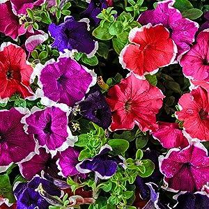 Petunia - Hulahoop Series Flower Garden Seed - 1000 Pelleted Seeds - Color Mix Blooms - Annual Flowers - Single Grandiflora Hula Hoop Petunias