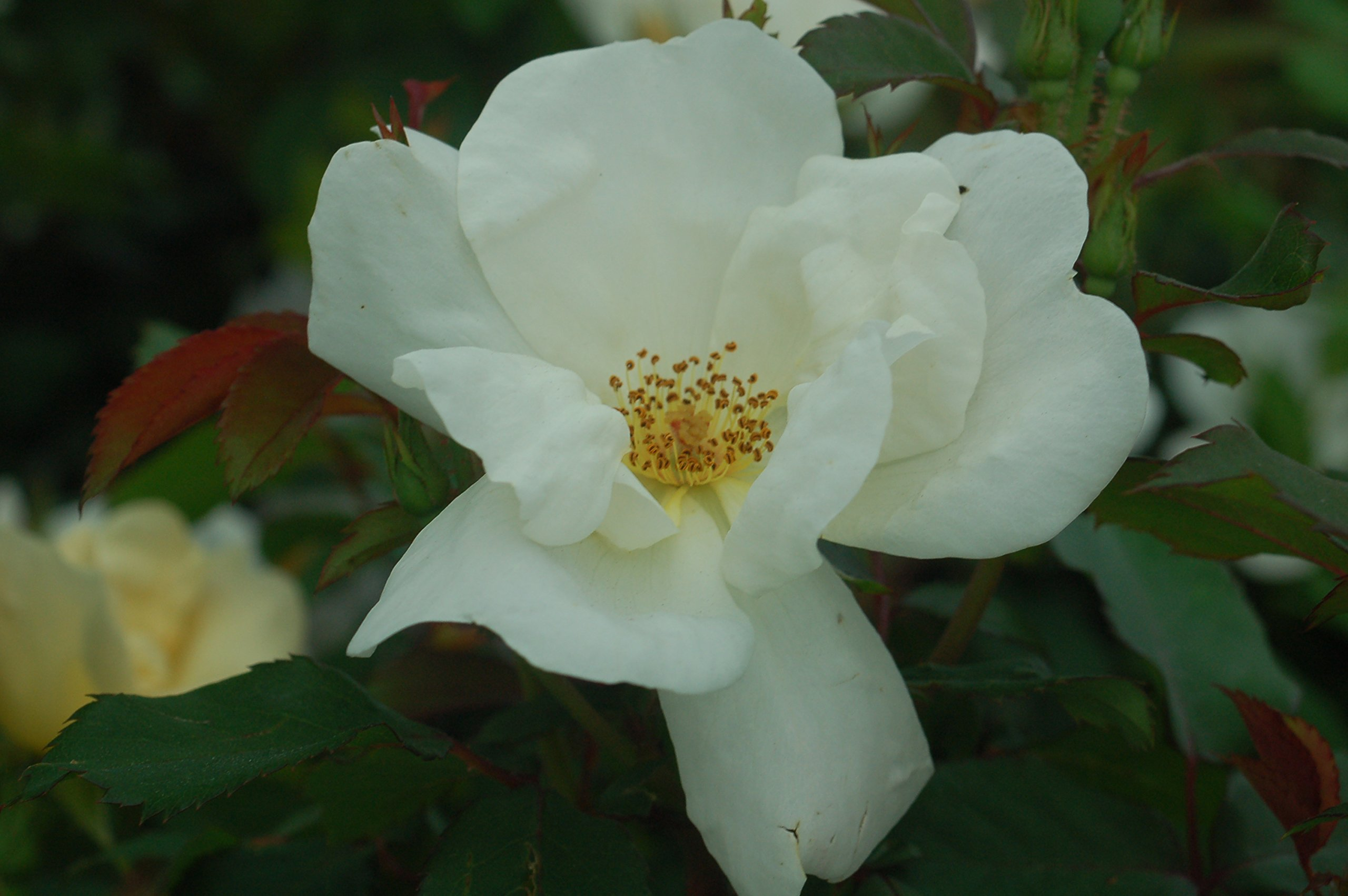 Knock Out Roses - Rosa White Knock Out (Rose) Rose, white flowers, #3 - Size Container by Green Promise Farms (Image #2)