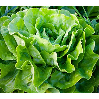 Tom Thumb Leaf Lettuce Seeds by Zellajake Butterhead Microgreens, 200 Seeds : Garden & Outdoor