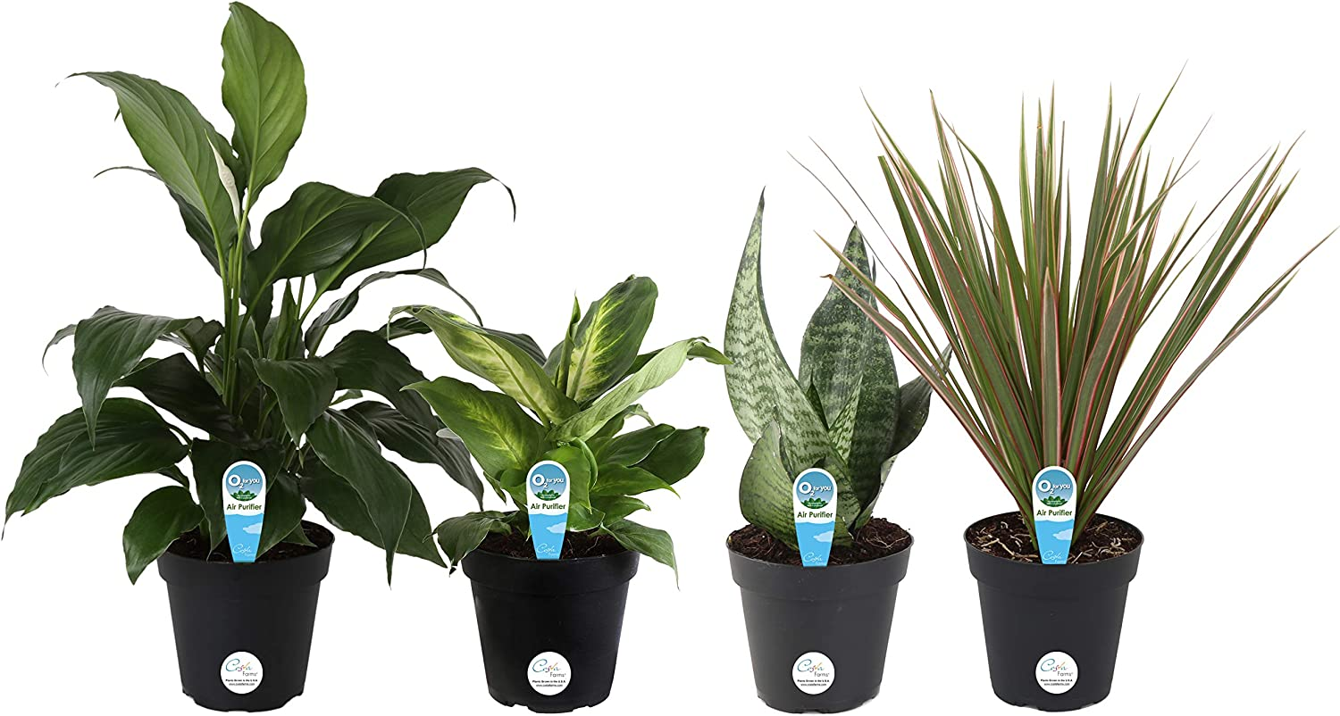 Amazon Com Costa Farms Clean Air O2 For You Live House Plant