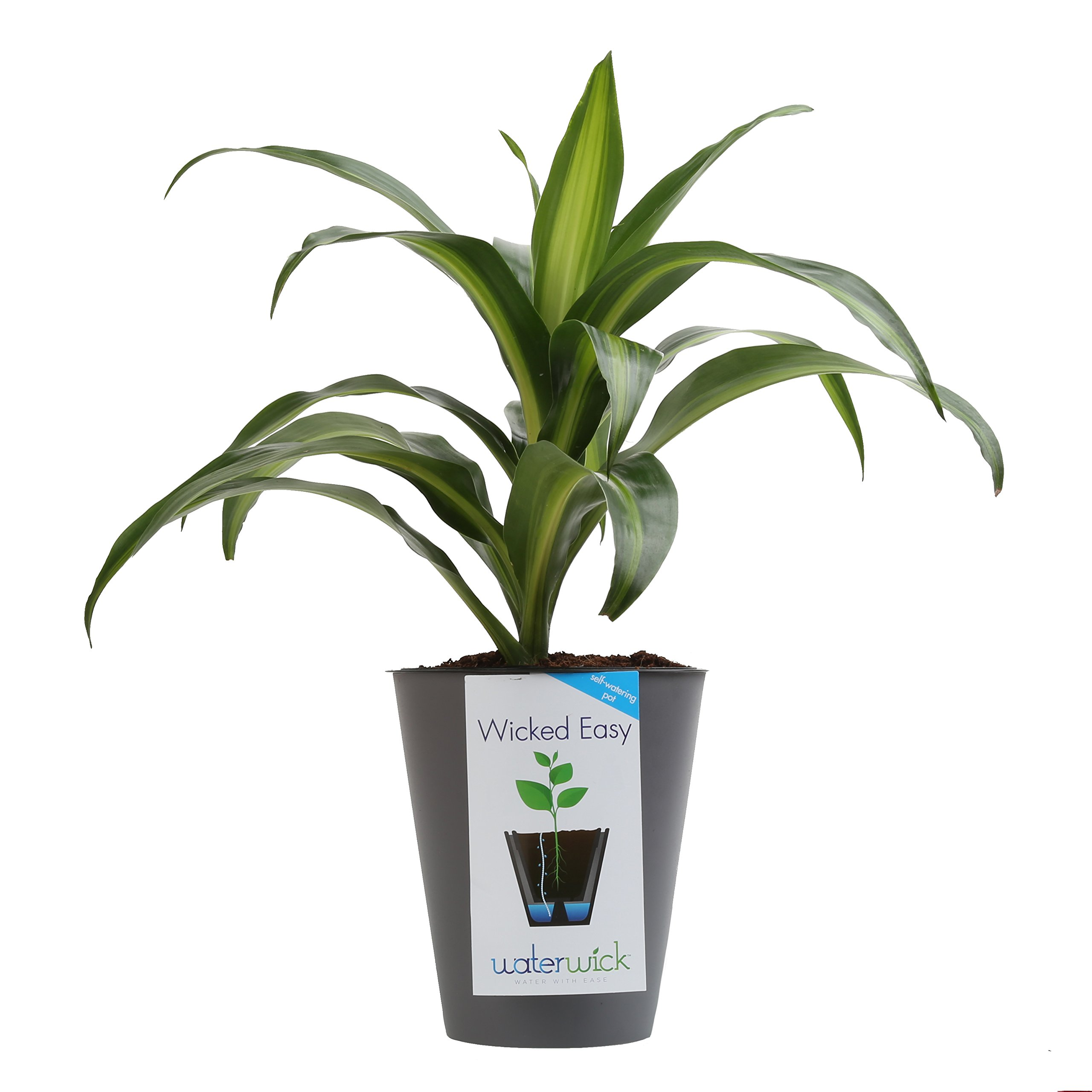 Costa Farms, WaterWick Self-Watering Planter, Premium Live Indoor Dracaena, Tabletop Plant, Taupe Decorator Pot,Shipped Fresh from Our Farm, Excellent Gift