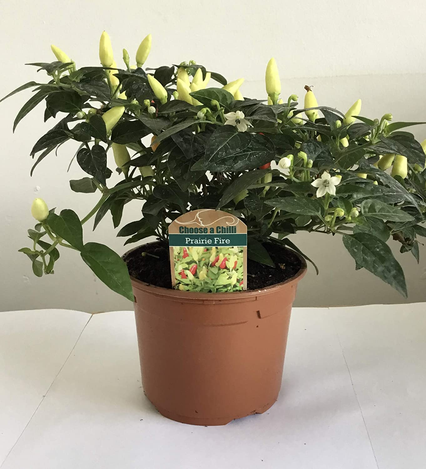 Chilli Pepper Prairie Fire 2 Large Plants in 1 Litre Pots Available Now!