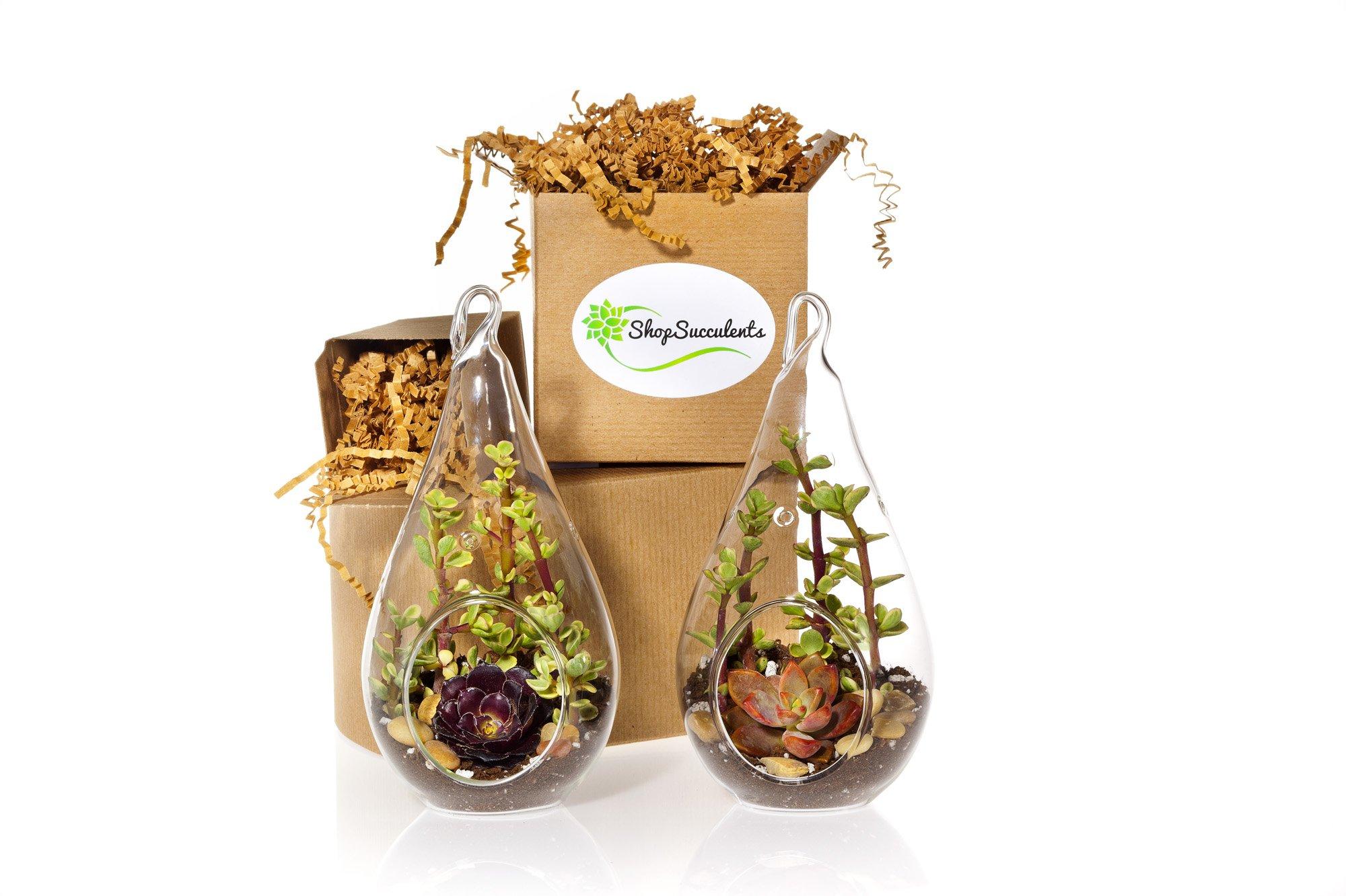 Shop Succulents | Teardrop Terrarium Collection of Live Succulent Plants, Hand Selected Variety | Collection of 2 by Shop Succulents