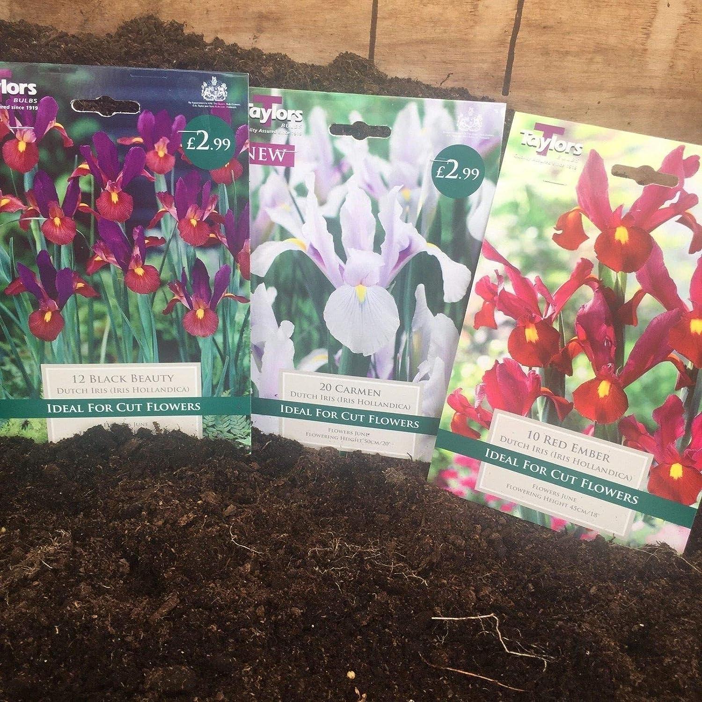 Portal Cool Paquete de semillas Variedades Dutch Iris Hollandica Bulbos Carmen X Bulbos 20 Negro Belleza-Carmen-Red Ember