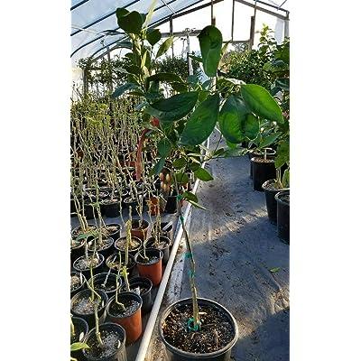 AchmadAnam - Live Plant - Washington Navel Orange Grafted Citrus Tree 3 to 4 Feet Tall : Garden & Outdoor